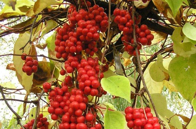 лиана с плодами