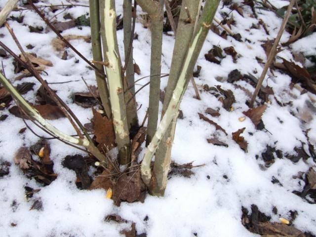 Садовый кустарник, повреждённый грызунами