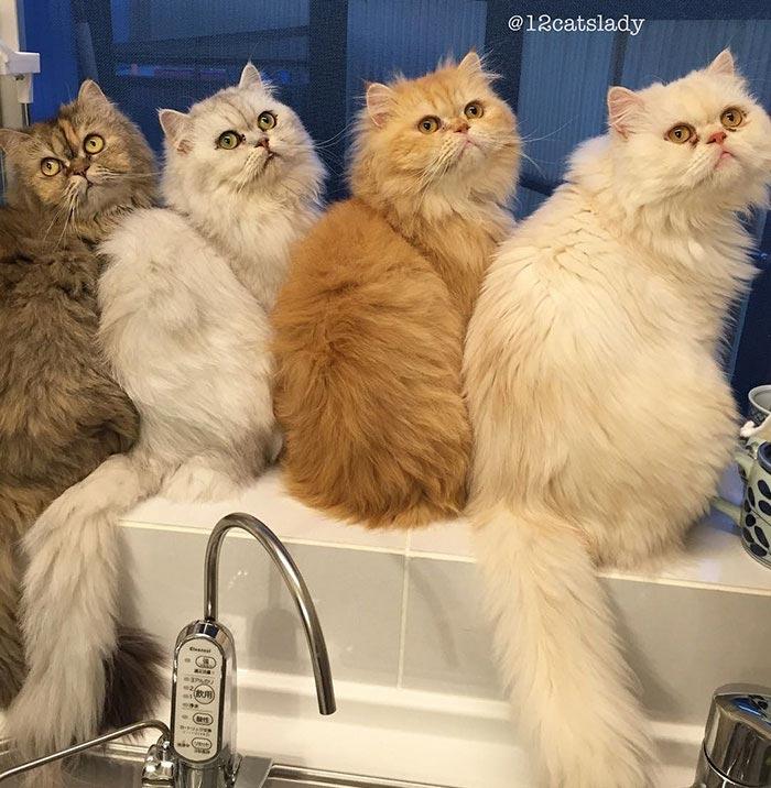 12 персидских кошек, 12catslady,