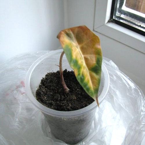 Скоро появится молодой листок алоказии после пересадки