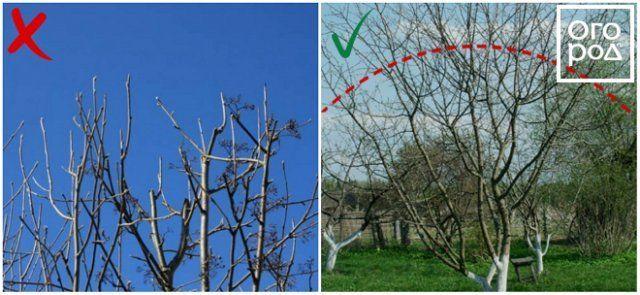 Формирование кроны груши и яблони