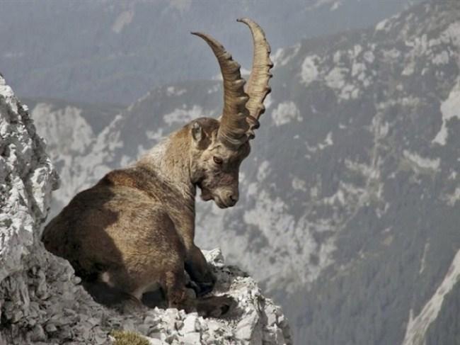 горные козлы бесстрашные животные (22)