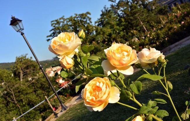 """Розы Остина официально не признаны отдельным классом роз, но такое название очень популярно в садоводческой практике. В научно-популярной литературе и периодике они упоминаются и как «английские розы». На фото - селекционный сорт английский роз """"Грэм Томас"""""""
