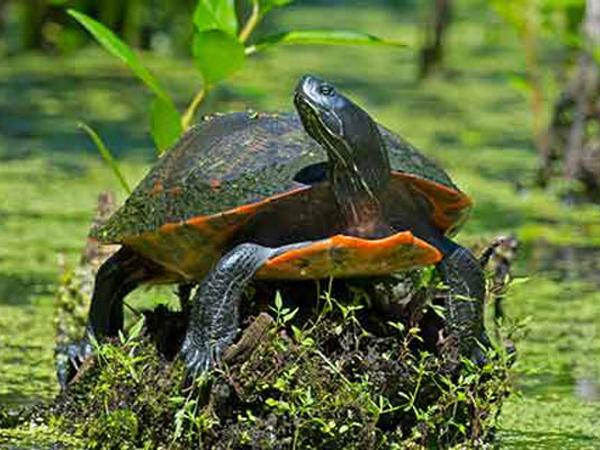 Короткошейная краснобрюхая черепаха