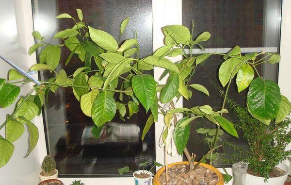 Частота полива также отражается на растении