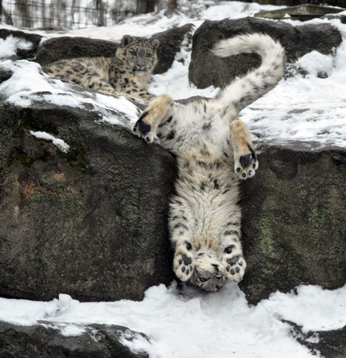 Эта ловкая мускулистая кошка с невероятно длинным и пушистым хвостом отлично адаптирована к жизни в суровых условиях высокогорья.