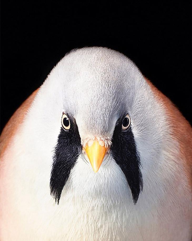 Усатая синица из вида воробьиных птиц
