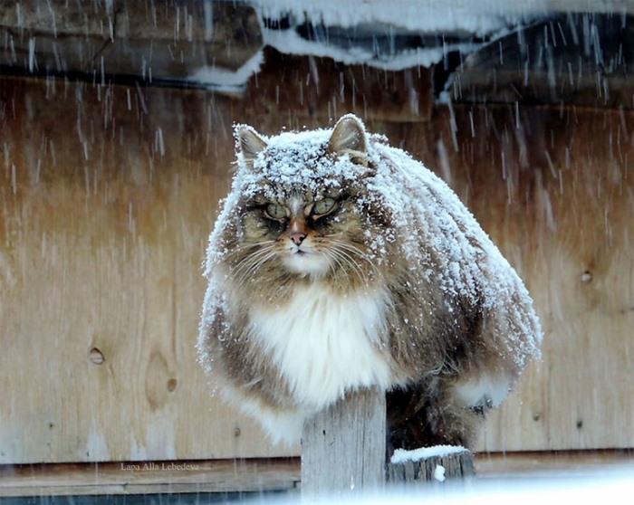 Сибирские коты охраняют кур и кролей.
