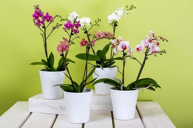 Поливают цветок орхидею кипяченой отстоянной водой