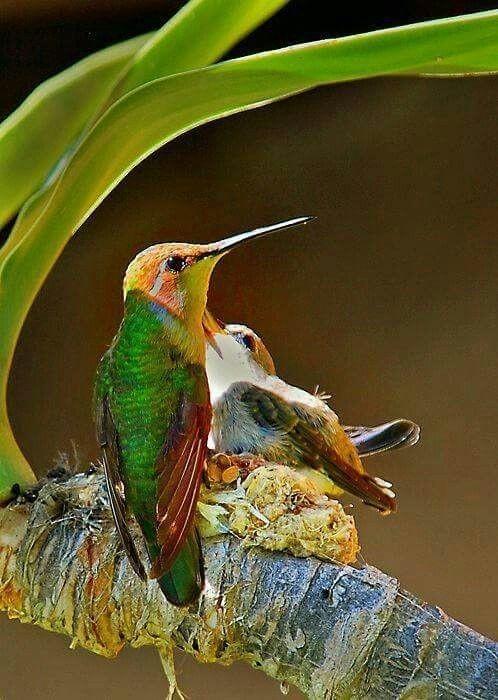 Колибри летают со скоростью 70-80 километров в час интересное, колибри, природа, птицы, факты, фауна