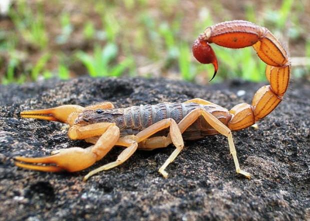 skorpion-620x443.jpg