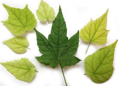 Вид больной листвы