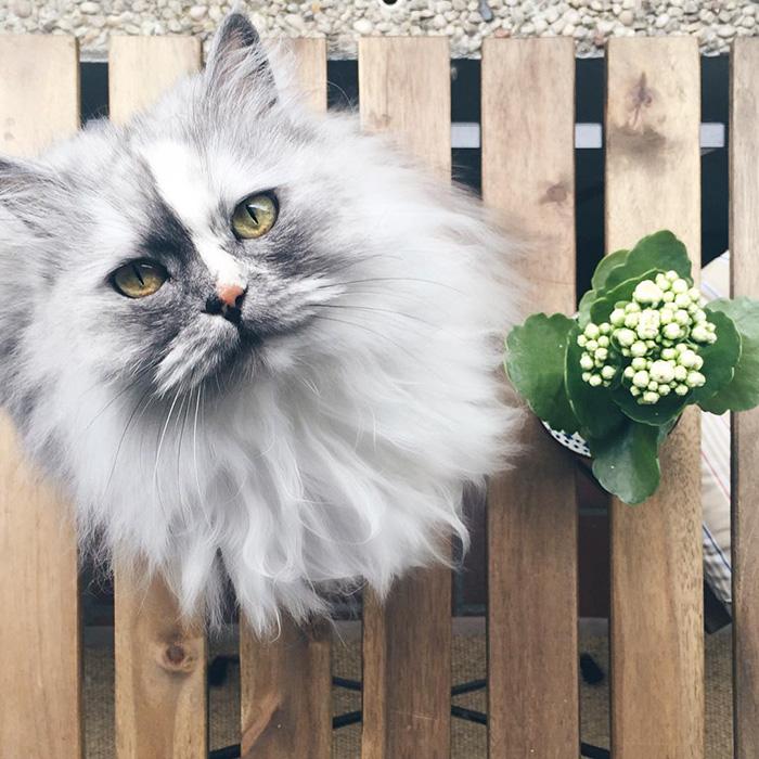 Мраморная шубка Алисы больше похожа на королевскую, чем на шерсть обычных кошек.