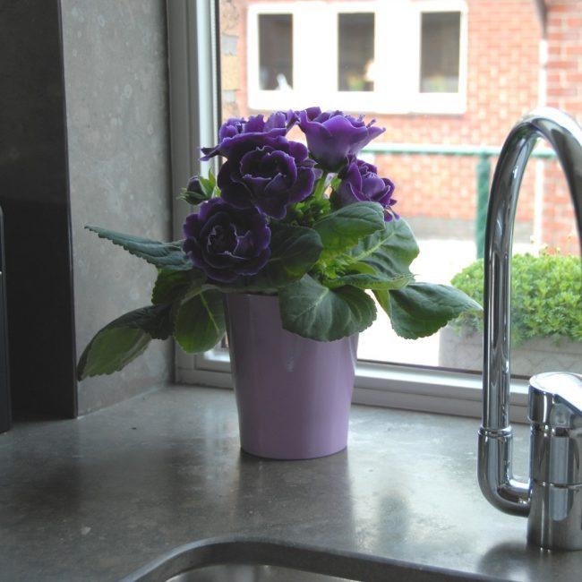 Глоксиния украшает кухню