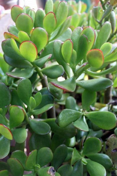 виды денежных деревьев комнатное растение