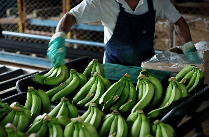 Как выращивают и собирают бананы. выращивают и собирают, бананы