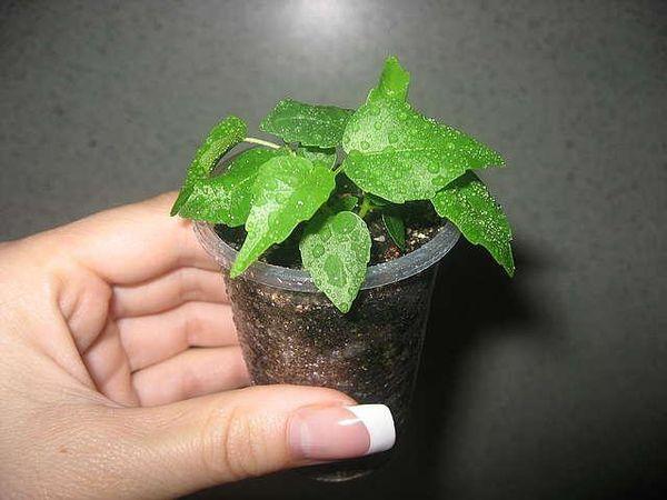 Фикус Священный из семян легко выращивать