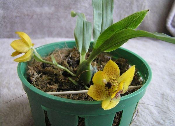 Орхидея Променея отличается своей миниатюрностью