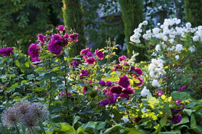 Садовая композиция из роз сортов William Shakespeare 2000 и Prosperity на фоне кипарисов