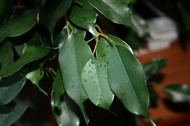 Липкий налет на листьях фикуса Бенджамина