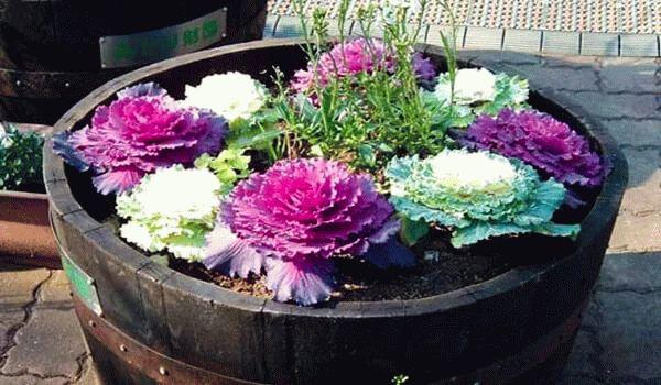 фото клумбы с декоративной капустой
