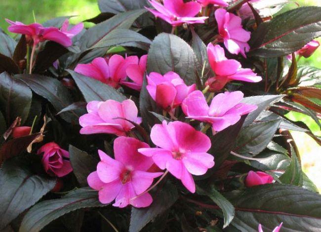 Бальзамин – справляется с полутенью, но в полной тени страдает недостатком цветения