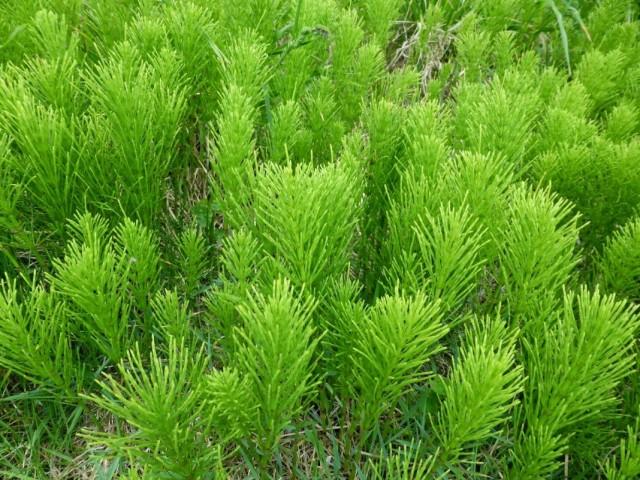 Хвощ для защиты растений от болезней и вредителей