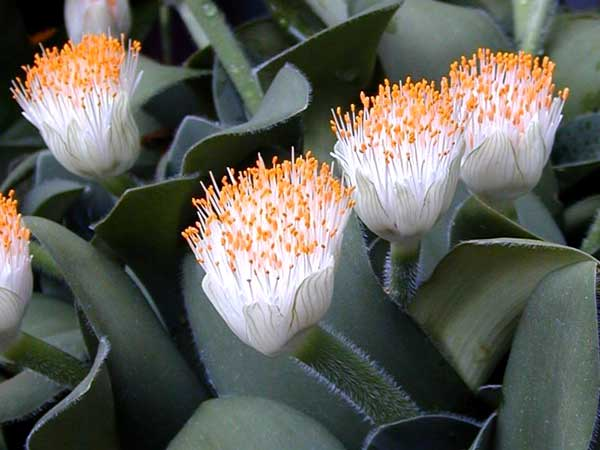 Гемантус белоцветковый (Олений язык)