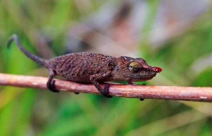 Самая древняя рептилия - гилоном.