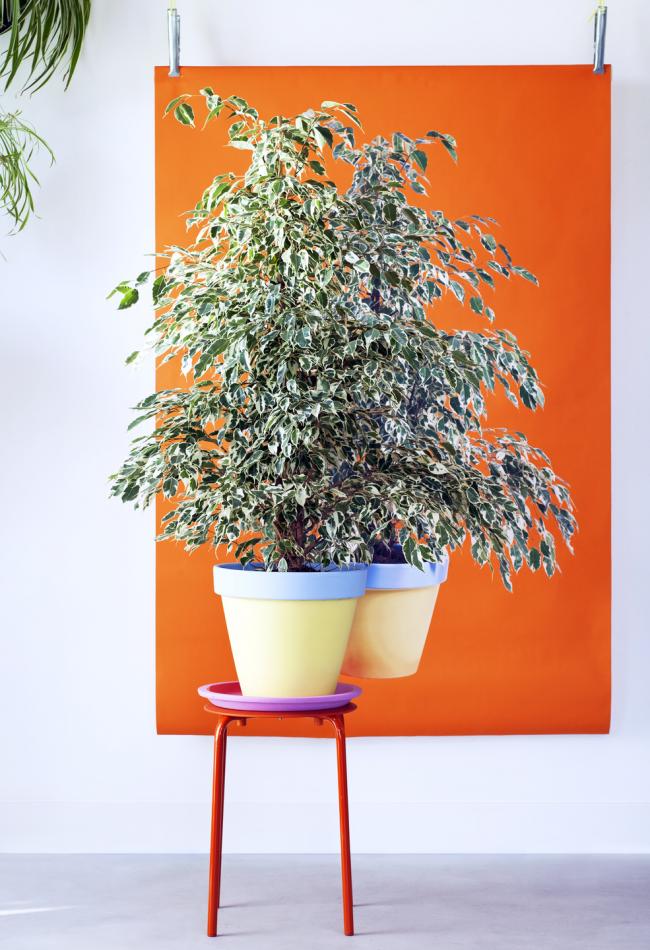 Насыщенность и структура, которой отличается фикус Бенджамина старлайт,  интересно сочетается с яркими цветами в интерьере