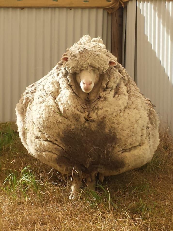 Когда овцу не стригли пять лет. К счастью, латвийцам такое не грозит австралия, в мире, животные, насекомые, подборка, прикол, юмор