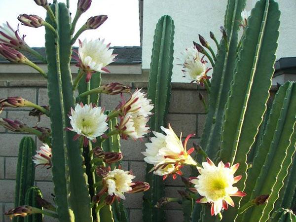 цветет кактус цереус