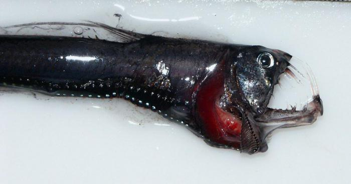 Рыба гадюка