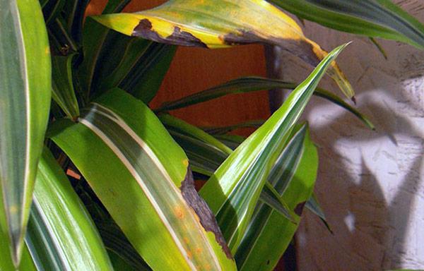 Желтые листья драцены – признак ошибок в уходе