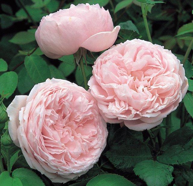 розовые розы лучшие сорта
