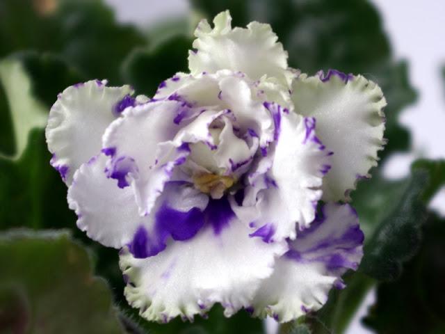 Цветение фиалки зеленая лагуна