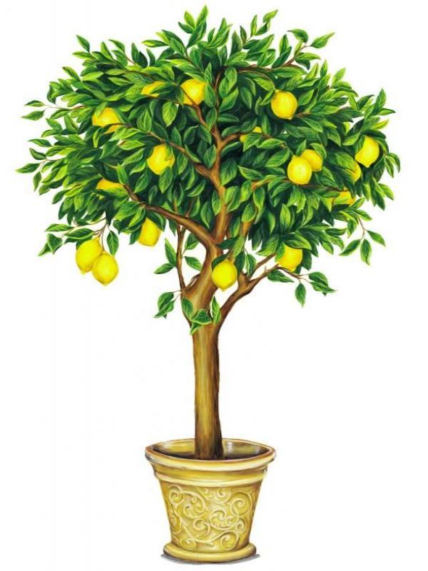 выращивание саженца лимона