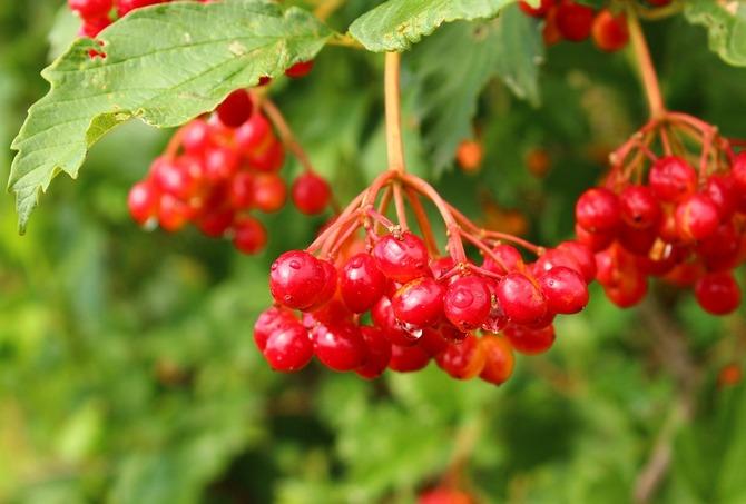 Достаточно некапризное растение, может расти и плодоносить практически на любом участке сада.