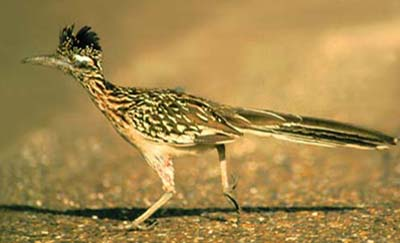 Greater Roadrunner immature running
