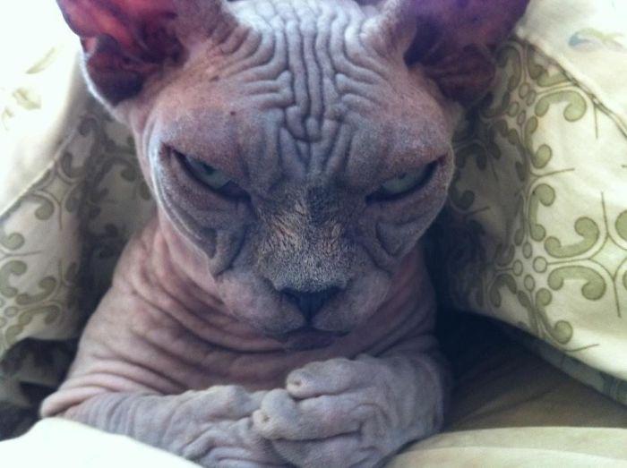 «Очень пушист и очень зол»: 15 самых красноречивых кошачьих морд