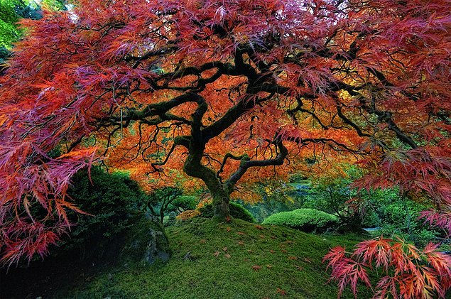 Японский клен в Портланде, штат Орегон.