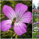 11 однолетних цветов для вашего сада, которые не боятся заморозков