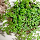 Мюленбекия - одно из самых привлекательных растений