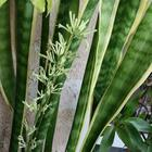 Цветок «Щучий хвост»: посадка и уход, размножение