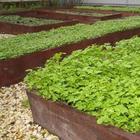 Когда и как сеять горчицу как сидерат для улучшения плодородия почвы
