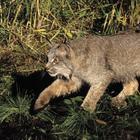 Милые снаружи, хищные внутри: 10 разновидностей диких котов