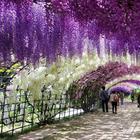 Тоннель глициний в японском саду цветов Кавати Фудзи