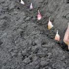 Как правильно посадить чеснок