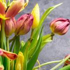 Что делать с тюльпанами после цветения