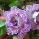 Цветок «Глоксиния»: особенности ухода в домашних условиях